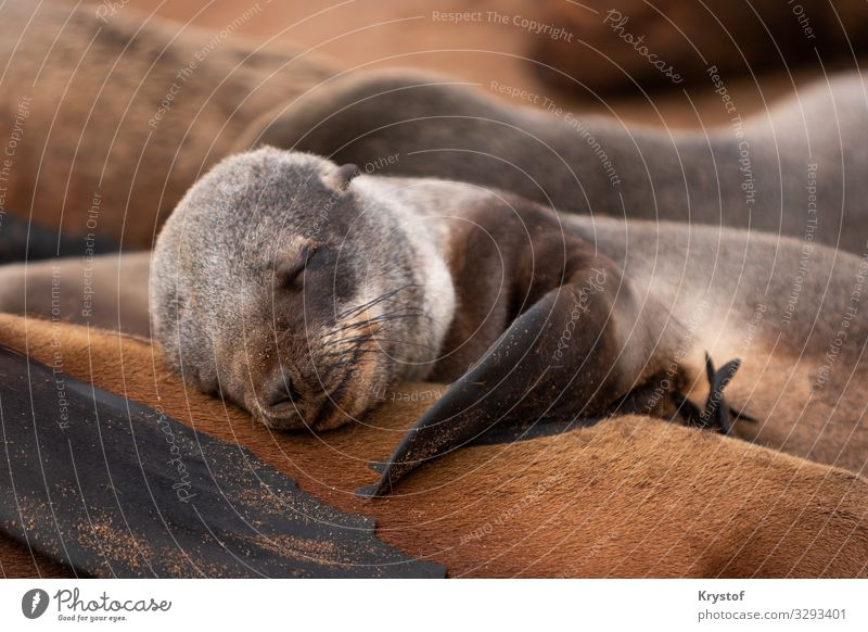 Sleeping cute seal Environment Nature Animal Emotions Moody Serene Namibia Africa Seals Colour photo Exterior shot Deserted Day Shallow depth of field