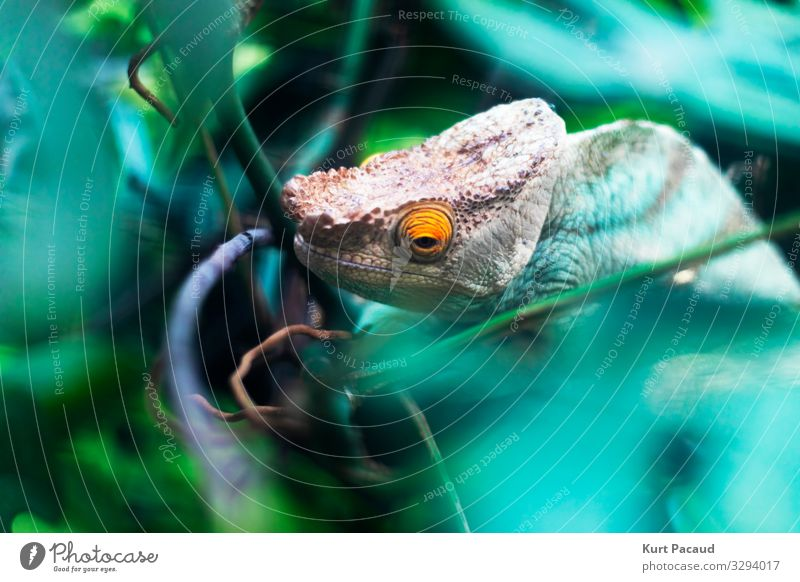 Chameleon Reptile Head And Eye Exotic Zoo Nature Animal Pet Observe Hang Looking Sadness Wait Esthetic Exceptional Free Creepy Hideous Uniqueness Small Cute