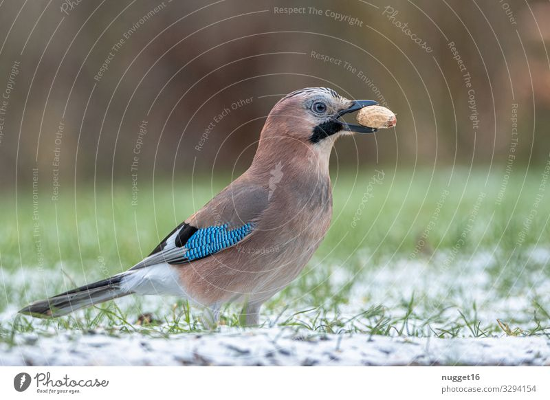 jays Environment Nature Animal Autumn Winter Bad weather Ice Frost Snow Grass Peanut Garden Park Meadow Forest Wild animal Bird Animal face Wing Claw Jay 1