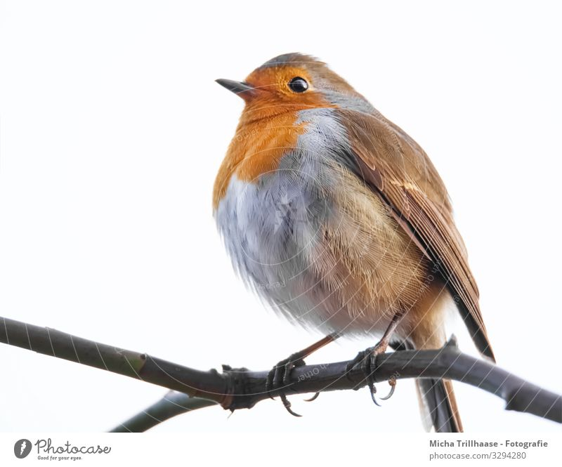 Robin on a branch Nature Animal Sky Sunlight Beautiful weather Tree Twigs and branches Wild animal Bird Animal face Wing Claw Robin redbreast Head Beak Eyes