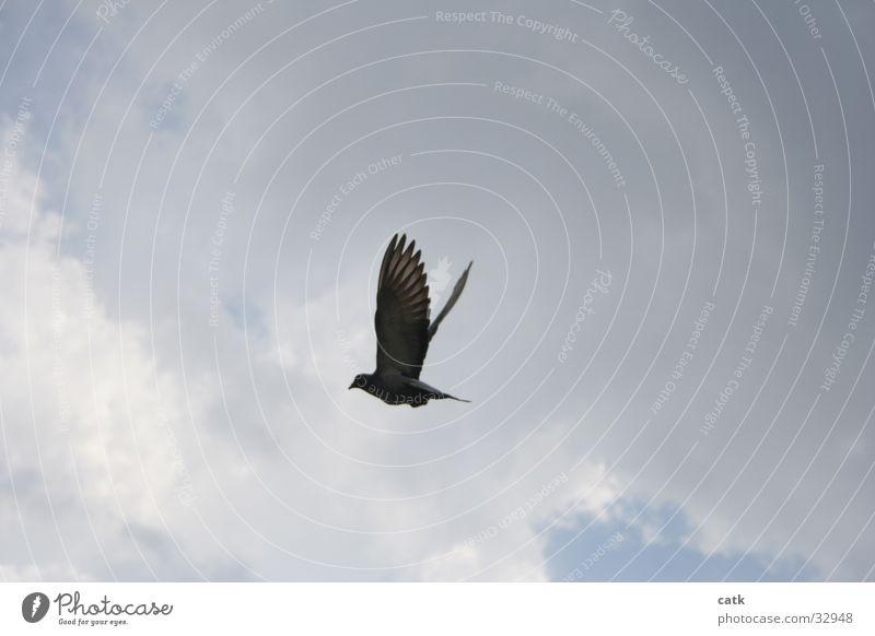 dove Pigeon Clouds Bird Sky Blue Wing Flying Upward