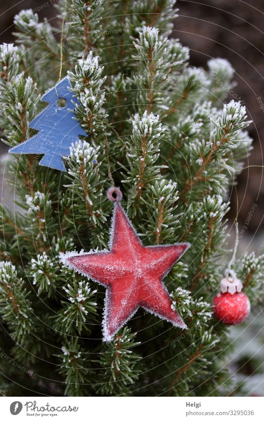 Fir branches with Christmas decoration and hoarfrost Christmas & Advent Environment Nature Plant Winter Ice Frost Tree Fir tree Decoration Star (Symbol)