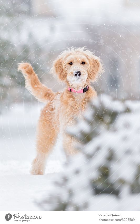 First Snowfall Animal Elements Winter Weather Storm Long-haired Pet Dog 1 Stand Free Friendliness Happiness Fresh Healthy Happy Funny Joy Curiosity Adventure