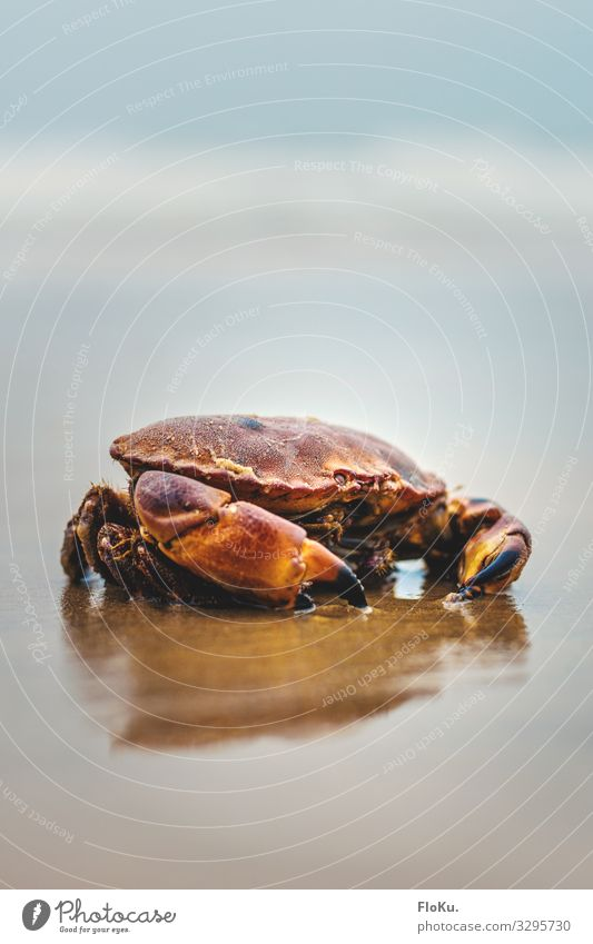 Crab on the North Sea coast Environment Nature Animal Elements Earth Sand Coast Beach Wild animal Aquarium 1 Wet Natural Blue Red Shellfish Crustacean Seafood
