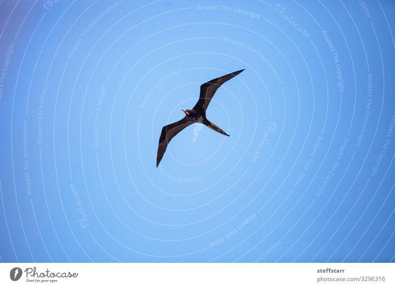 Male magnificent frigatebird Fregata magnificens bird Nature Animal Wild animal Bird Wing 1 Flying Blue Red Black Duck birds large wingspan soar fly Wild bird