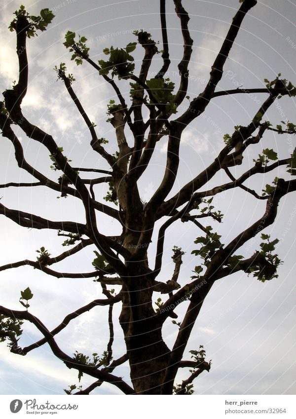 Tree in Minden Clouds Wood Nature Sky Plant