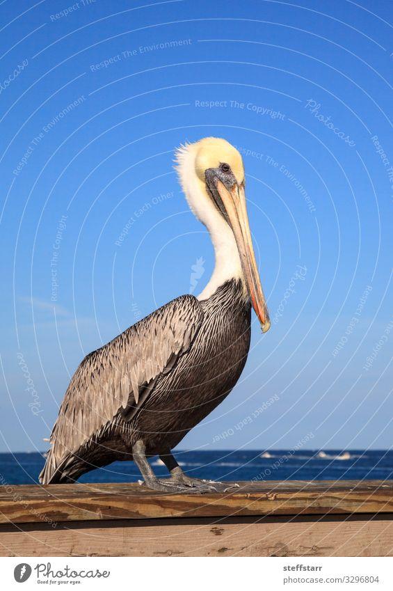 Brown Pelican Pelecanus occidentalis purchase Nature Blue White Ocean Animal Coast Bird Wild animal Blue sky Beak Duck birds Florida Perches Wild bird