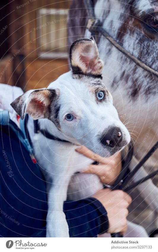 Border collie puppy with blue eyes green golden pet mammal looking lovely domestic spring adorable fur litter outside little friend outdoors small sheepdog