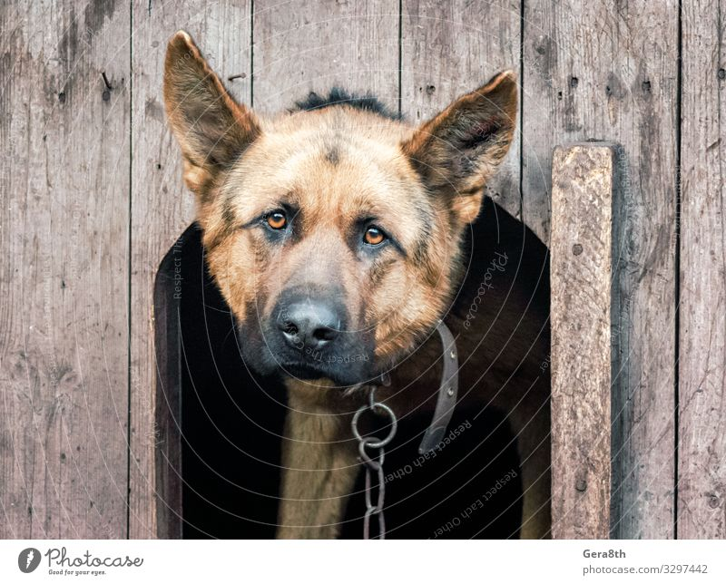 german shepherd on a chain in a wooden doghouse Roll Adults Animal Fur coat Pet Dog Wood Old Observe German German Shepherd Dog Breed chain dog collar eye eyes