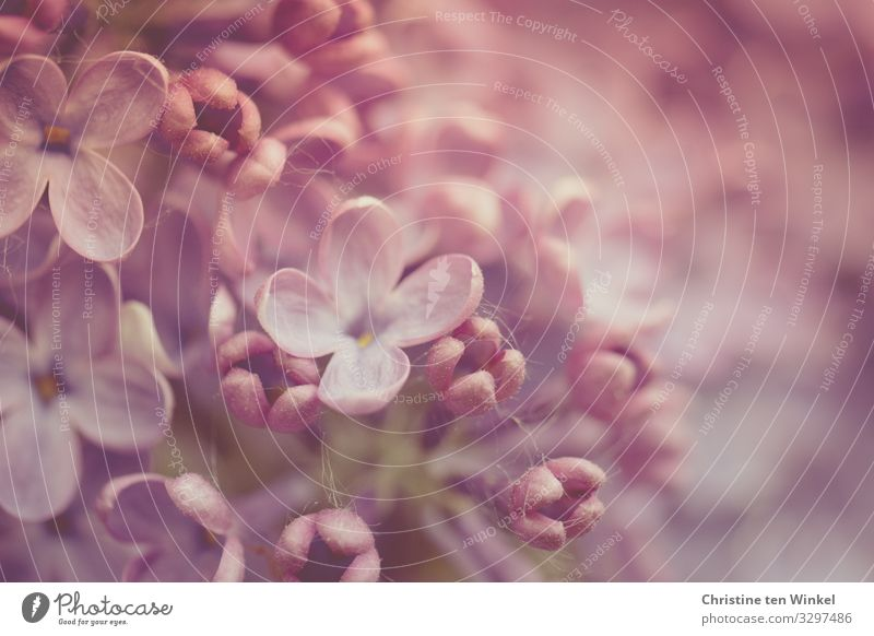 Lilac flowers in delicate pink and purple. Close up lilac Lilac Macro lilac blossoms Spring May Mother's Day Spring Flowering Nature Plant Bushes Blossom