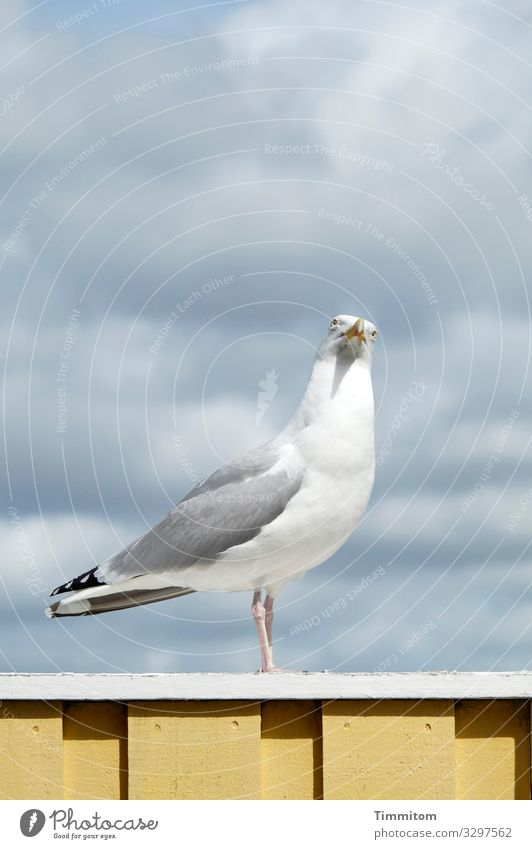 occupied   The look of the seagull makes that quite clear Seagull Bird Sky Blue Nature Clouds Animal Looking Wood wooden rail White Yellow Denmark