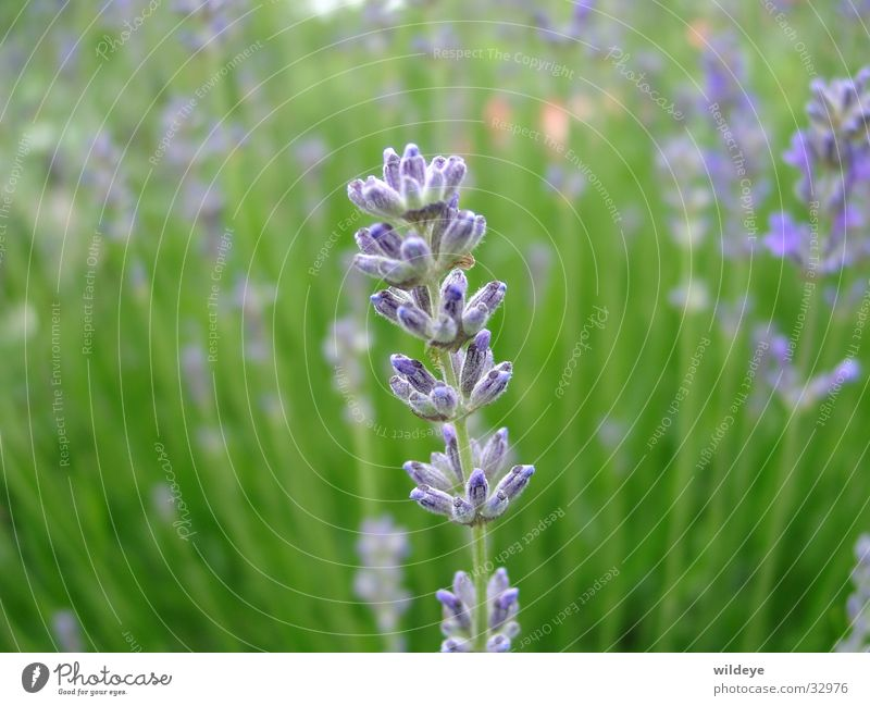 lavender Lavender Green Plant Blade of grass Blossom Blue Close-up Seed Medicinal plant
