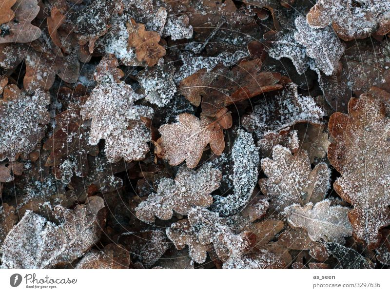 Frozen leaves Environment Nature Earth Autumn Winter Climate Weather Ice Frost Leaf Oak leaf Autumn leaves Garden Park Forest Freeze Lie Old Esthetic Natural