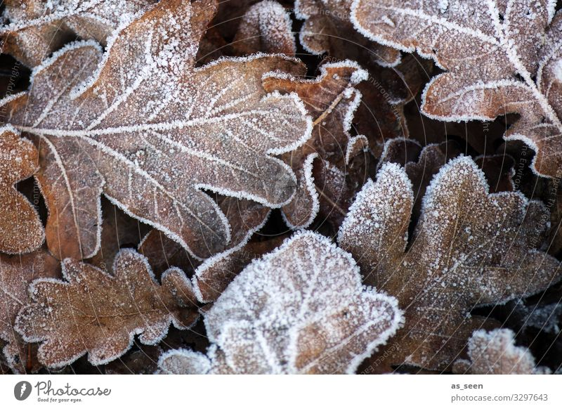 First frost Funeral service Environment Nature Elements Autumn Winter Climate Weather Ice Frost Plant Leaf Oak leaf Oak tree Autumn leaves Garden Park Old
