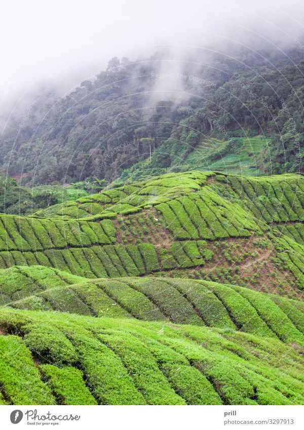 Tea plantation in Malaysia Mountain Agriculture Forestry Landscape Plant Fog Bushes Field Hill Juicy Green cameron highlands Malaya pahang planting Arable land