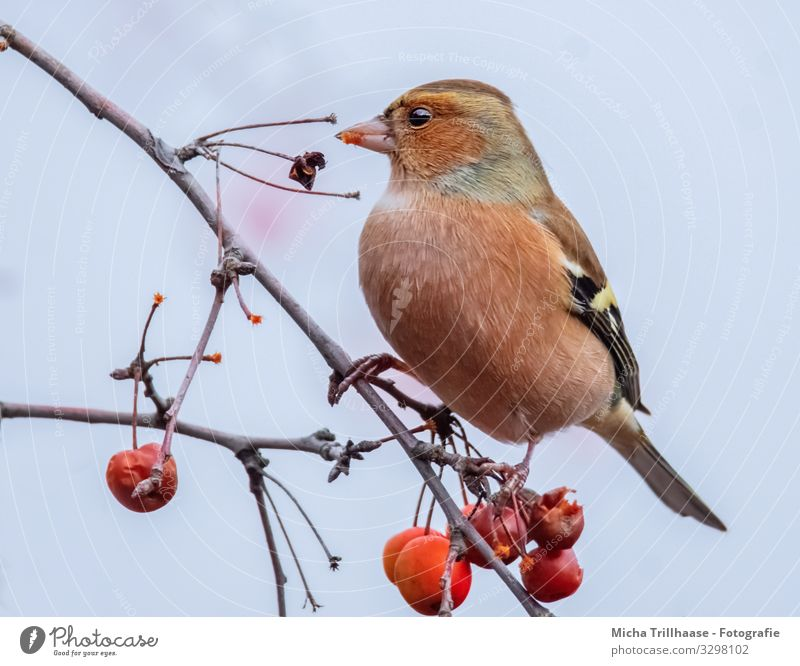 Eating chaffinch in a tree Nature Plant Animal Sky Sunlight Beautiful weather Tree Berries ornamented apple Twigs and branches Wild animal Bird Animal face Wing