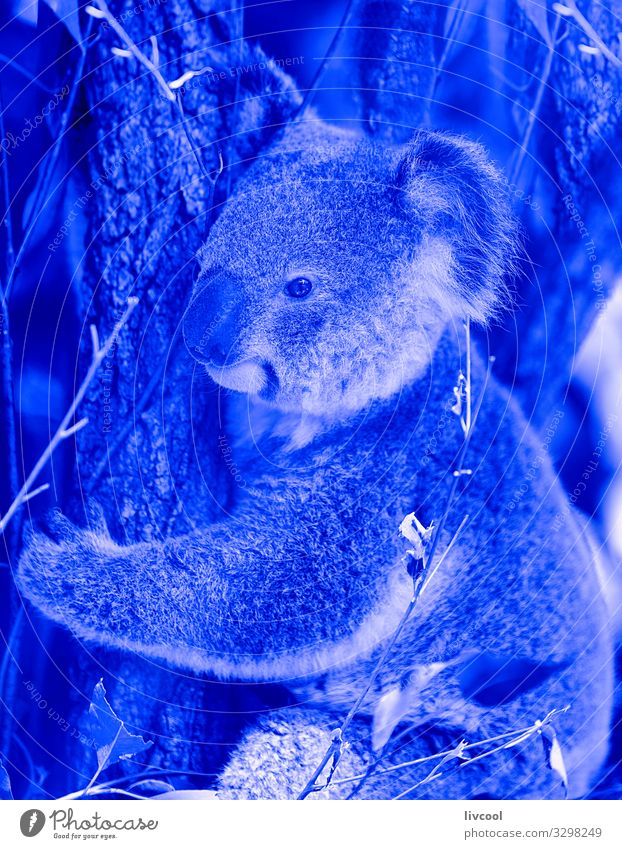 Koala in blue III, Australia Vacation & Travel Trip Adventure Family & Relations Group Nature Animal Tree Forest Wild animal 1 Sleep Authentic Cool (slang)
