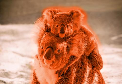 baby koala climbed on the back of mama koala in red Vacation & Travel Trip Adventure Baby Family & Relations Group Nature Animal Tree Forest Wild animal