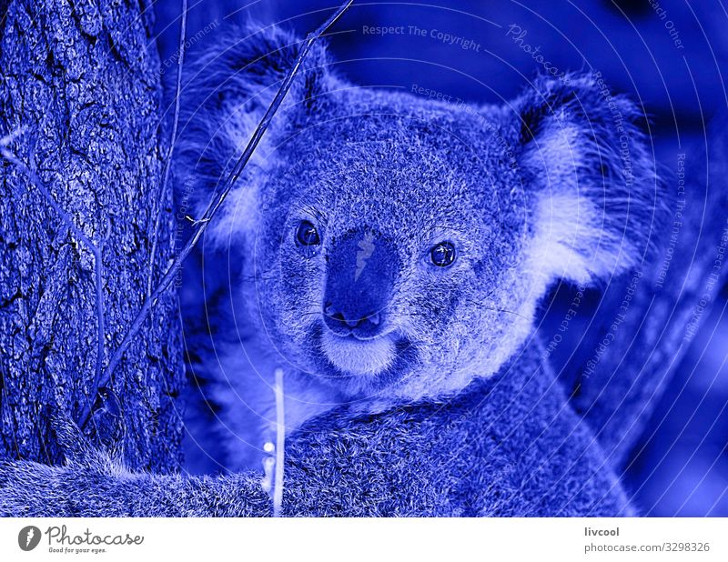 nice koala in blue , brisbane-australia Vacation & Travel Trip Adventure Family & Relations Group Nature Animal Tree Leaf Forest Wild animal Animal face 1 Sleep
