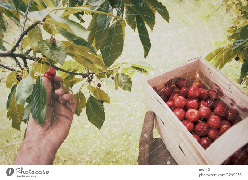 gleaning Gardening Hand Fingers Environment Nature Plant Summer Beautiful weather Tree Grass Agricultural crop Cherry tree Pick Fruit Fruit trees Harvest