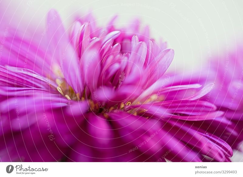 Pink Aster in close-up Decoration Nature Plant Flower Blossom flower basket Blossoming Beautiful Yellow White Blossom leave Stamen xenias Studio shot Detail