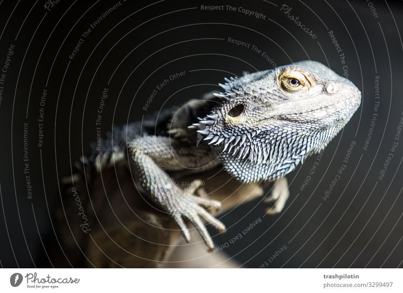 bearded dragon Animal Pet Barbed agame Saurians Reptiles 1 Crawl Colour photo Artificial light