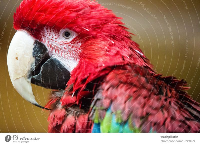 macaw Animal Pet Wild animal Macaw Parrots Red-chested Macaw Feeding Colour photo