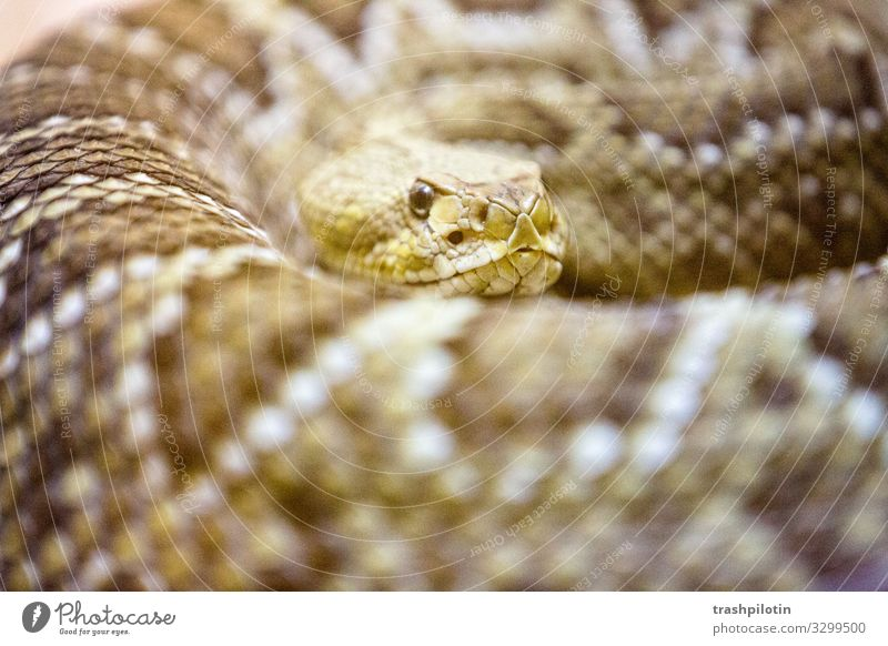 cobra Snake Cobra To feed Poison Threat Caution Colour photo Blur Shallow depth of field
