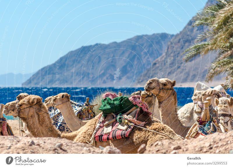 landscape with a caravan lying camels in Egypt Dahab Exotic Vacation & Travel Tourism Summer Beach Ocean Mountain Nature Landscape Sand Horizon Grass Rock Coast