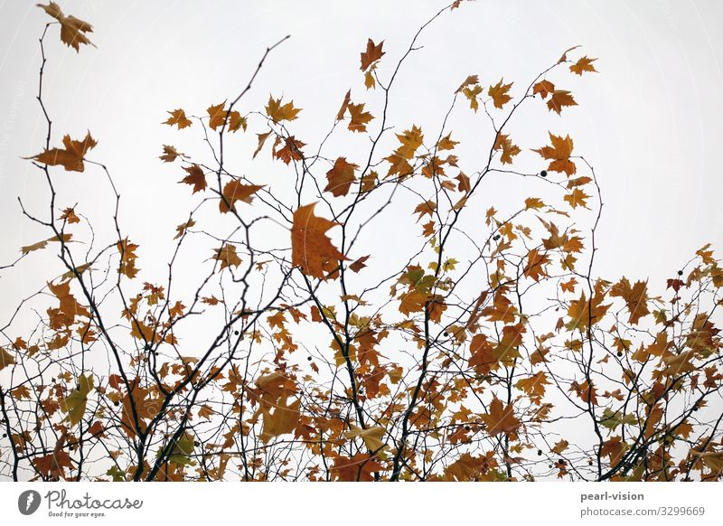 last leaves Nature Plant Autumn Wind Tree Leaf Maple leaf Maple tree Movement Dance Colour photo Exterior shot Day