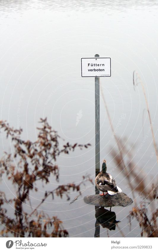 "Duck looks in disbelief at the sign ""No feeding Environment Nature Landscape Plant Animal Water Winter Fog Grass Bushes Twig Lakeside Wild animal 1 Metal"