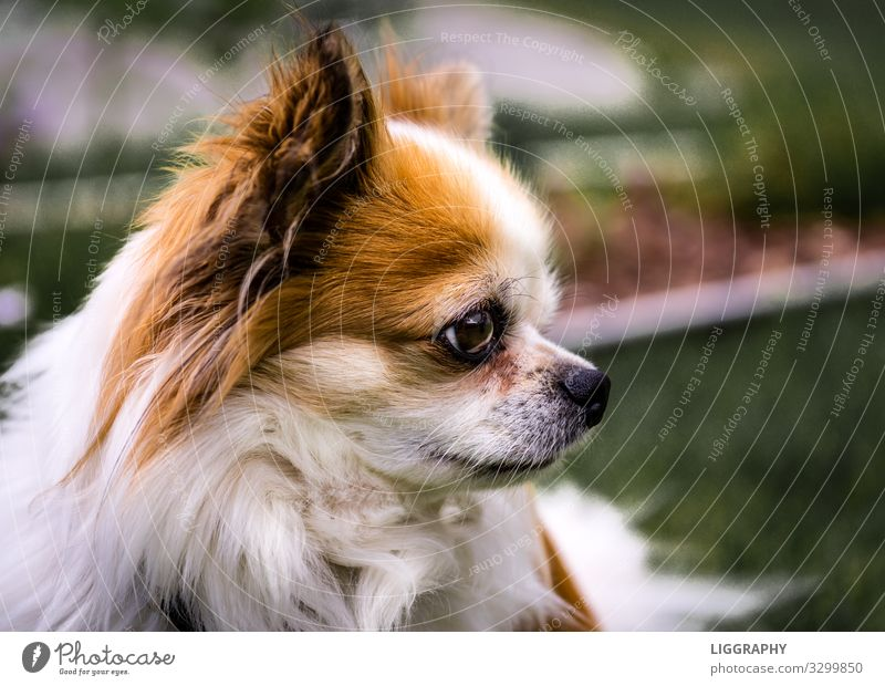 Chihuahua dog breed Animal Pet Dog 1 Feeding Walking Love Sell Aggression Famousness Cool (slang) Good Brown Determination Safety (feeling of) Watchfulness