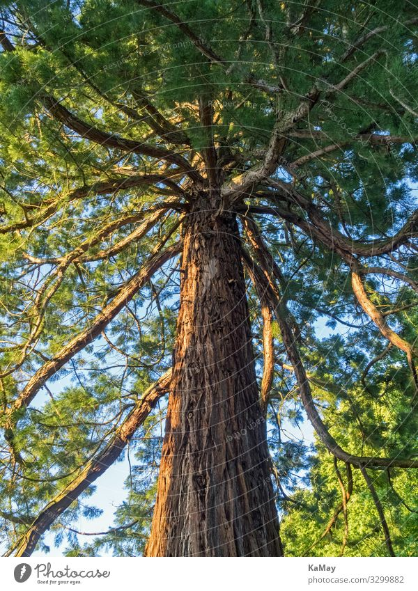 Sequoia seen from below Nature Plant Tree Redwood Cypress Park Forest Americas Old Strong Green Environment Environmental protection Botany Vertical