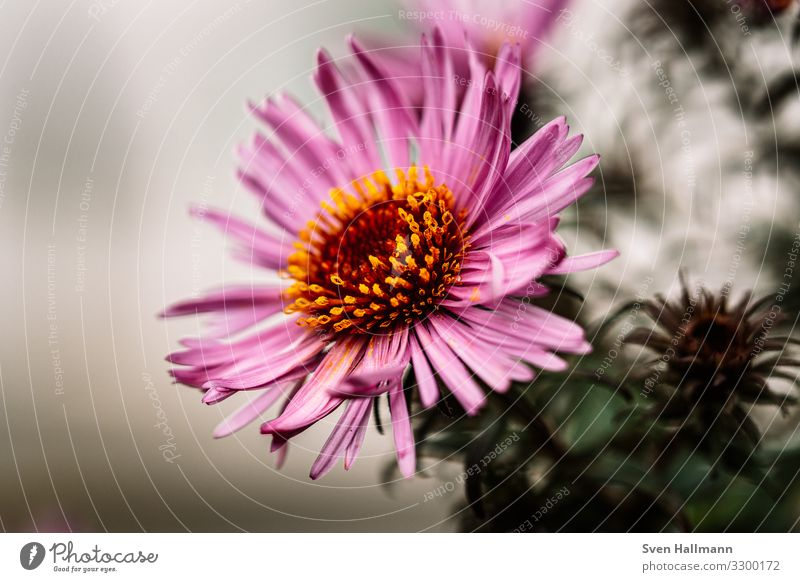 Macro of a Aster Flower Pink Blossoming Plant Blossom leave Beautiful Nature Autumn Natural Exterior shot Garden Violet Macro (Extreme close-up) Decoration