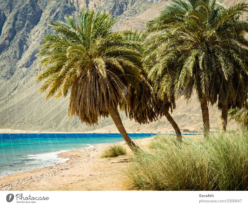 palm trees on the Red Sea on the background of cliffs in Egypt Vacation & Travel Nature Summer Plant Blue Colour Green Landscape Tree Ocean Relaxation Leaf