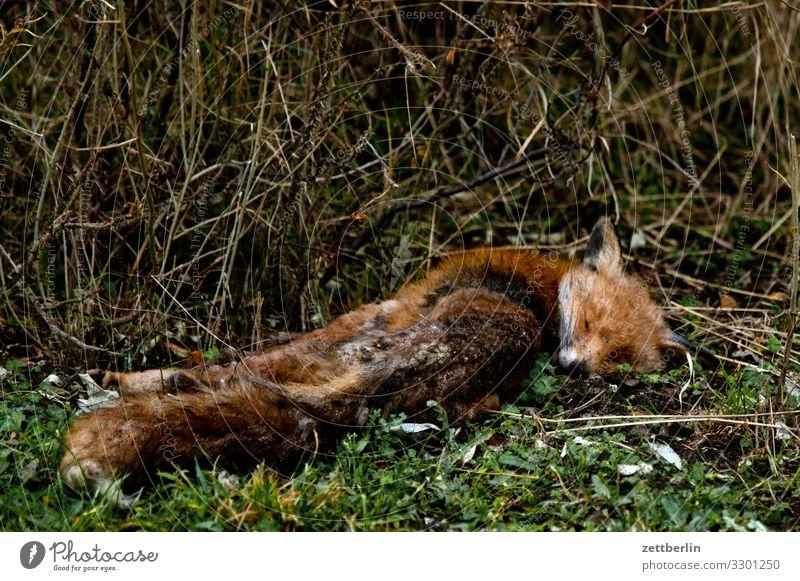 Red fox (dead) Fox Animal Wild animal Pelt Fur-bearing animal Death Corpse run sb./sth. over Lie Forest Park Bushes Undergrowth Extinct