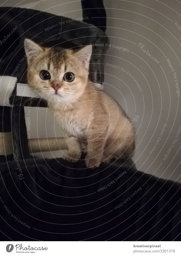 Look me in the eye Flat (apartment) Animal Pet Cat Pelt putty Baby animal Kitten 1 Sit Esthetic Beautiful Small Curiosity Cute Brown Love of animals
