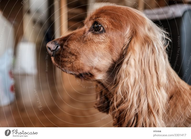 cocker spaniel House (Residential Structure) Room Animal Pet Dog Animal face Cocker Spaniel 1 Observe Feeding Communicate Sit Brash Free Friendliness Happiness