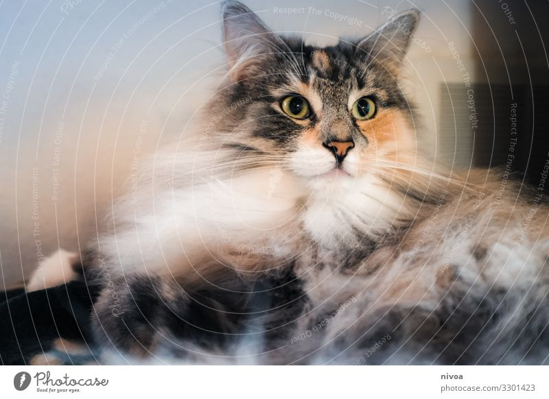 Norwegian Forest Cat Animal Colour photo Pet Animal portrait 1 Animal face Day Looking Pelt Subdued colour Cute Love of animals Interior shot