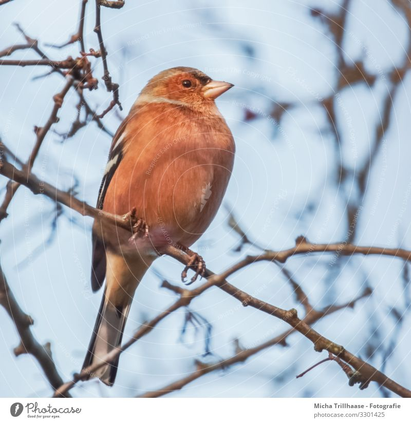 Chaffinch in a tree Nature Animal Sky Sunlight Beautiful weather Tree Twigs and branches Wild animal Bird Animal face Wing Claw Finch Head Beak Eyes Feather