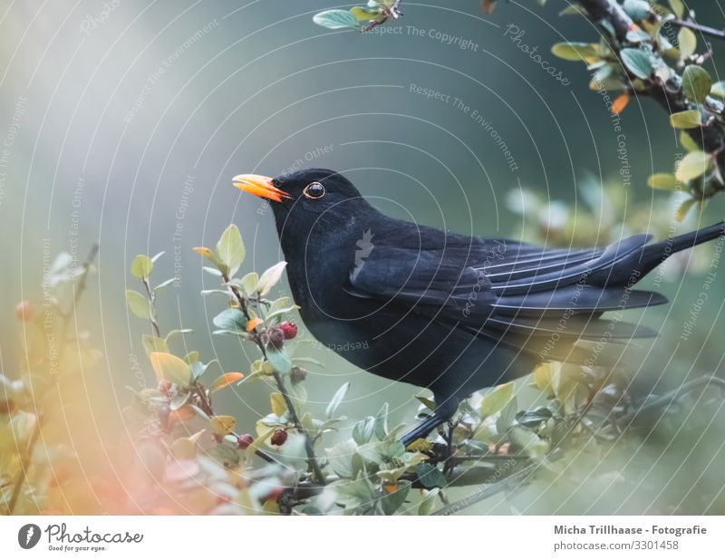 Blackbird in the sunshine Nature Animal Sun Sunlight Beautiful weather Tree Bushes Twigs and branches Leaf Wild animal Bird Animal face Wing Beak Head Eyes
