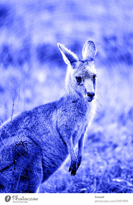 lovely kangaroo in blue , hall´s gap Face Vacation & Travel Trip Adventure Friendship Couple Animal Wild animal 1 Jump Authentic Cool (slang) Friendliness