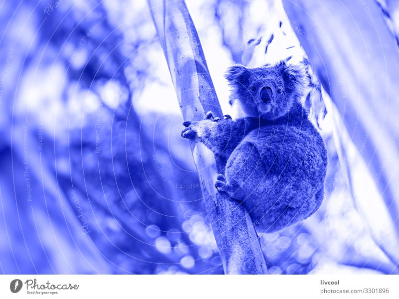 koala in his eucalyptus in blue Vacation & Travel Trip Adventure Family & Relations Group Nature Animal Tree Leaf Forest 1 Sleep Authentic Exceptional