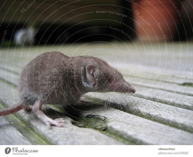 Shrew 1 Rotation Newborn Balcony Gray shrew Close-up