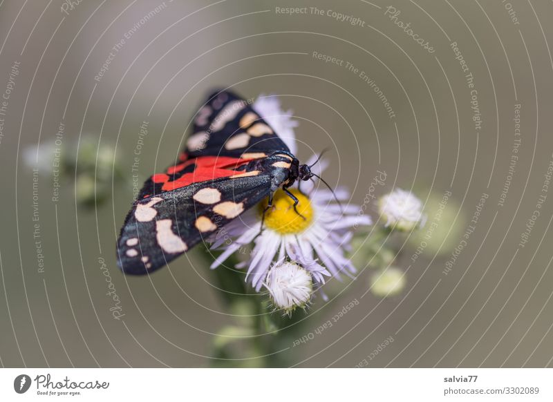 Nature Summer Plant Beautiful Animal Eating Environment Blossom To enjoy Wing Insect Butterfly Fragrance Moth Suck Tigermoths