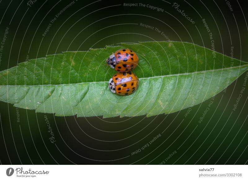 Nature Plant Animal Leaf Love Pair of animals Insect Beetle Crawl Ladybird Affection