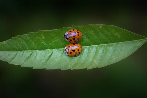 Snuggling Course Nature Plant Animal Leaf Beetle Insect Ladybird 2 Crawl Love Relationship Considerate Equal Happy Protection Contentment Pair of animals