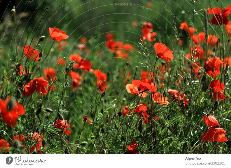 Poppy seed also goes on Friday Plant Summer Beautiful weather Wild plant Poppy blossom Poppy field Blossoming Fragrance Natural Warmth Happy