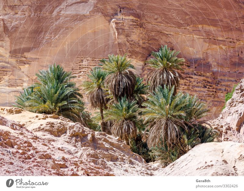 green palm trees in an oasis in the desert in Egypt Vacation & Travel Nature Summer Plant Colour Landscape Tree Mountain Warmth Natural Tourism Stone Rock