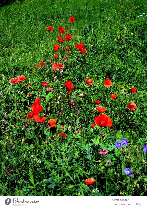 Flower Green Red Meadow Grass Poppy Weed